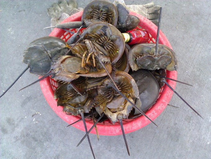 Thai food King crabs. Carcinoscorpius_rotundicauda_(Chonburi)