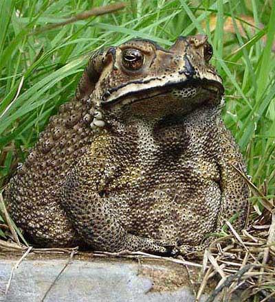Thai Food Frogs