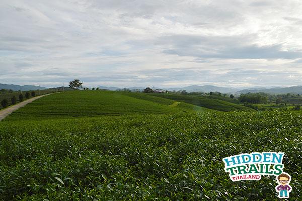 Choui fong tea Chiang Rai