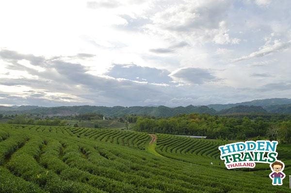 Thai tea Choui fong tea Chiang Rai