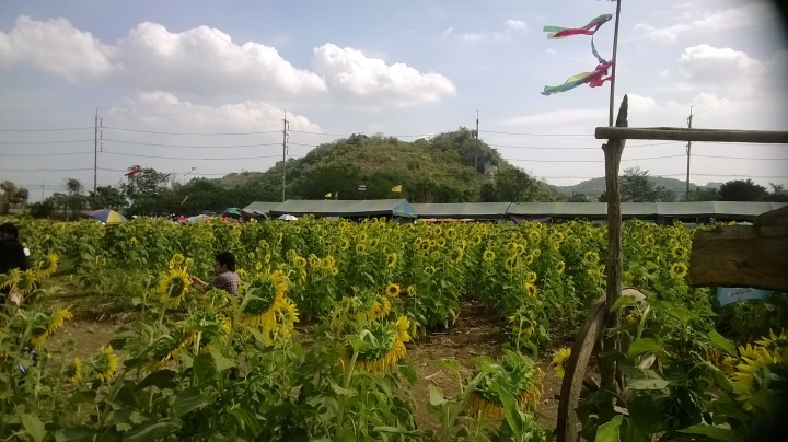 The fields of gold in Lopburi