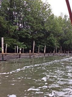 The mangroves of Prasae