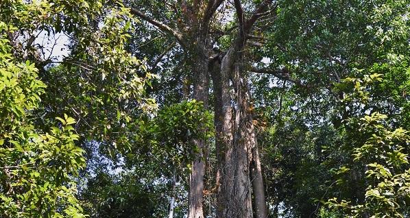 A walk among the giants in Khaoyai National Park