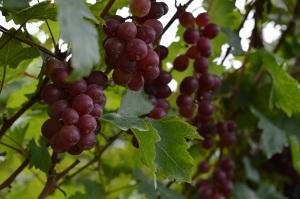 Unbelievable vineyards of the tropics