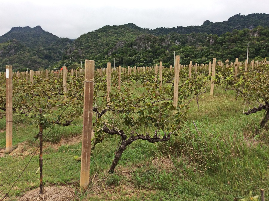 Unbelievable vineyards of the tropics